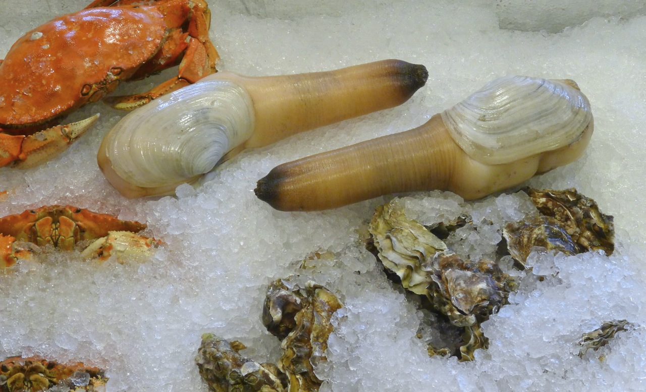 Most Peculiar Animals. Geoduck.